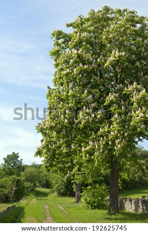 Sunny flowering horse chestnut tree by path - stock photo