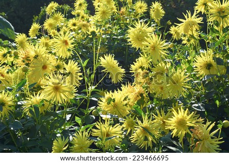 Sunny Garden Scene with Spider Chrysanthemums in Bloom - stock photo