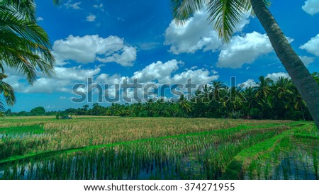 Sunny gold rice field at town Ubud on Bali in summer day - stock photo