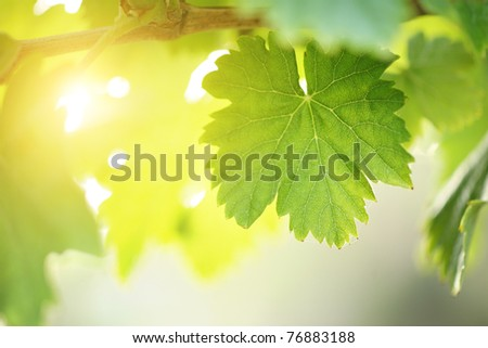 Sunny grape leaf on grapevine. Macro closeup. shallow DOF. - stock photo
