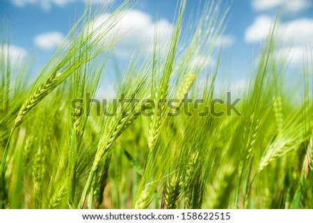 Sunny green wheat field closeup - stock photo