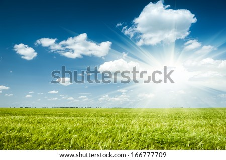 Sunny green wheat field. Summer landscape. - stock photo