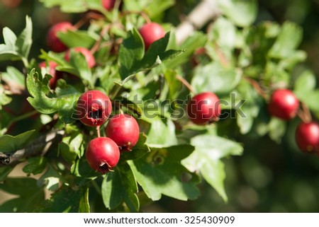 sunny illuminated red dog-rose fruits in natural leavy ambiance - stock photo