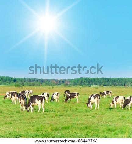 Sunny Lawn Grazing Cows - stock photo