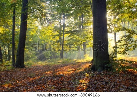 Sunny morning in old beech forest. September.Central Poland. - stock photo