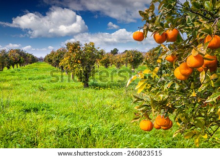 Sunny morning in orange garden in Sicily, Italy, Europe. - stock photo