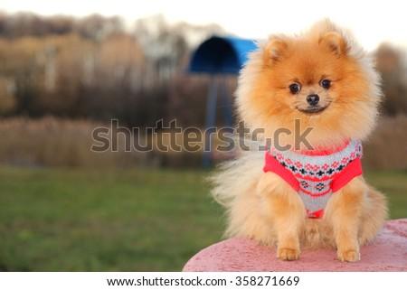 Sunny pomeranian dog. Beautiful dog. Pomeranian spitz - stock photo