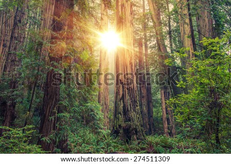 Sunny Redwood Forest in Northern California, United States. Forestry Theme. - stock photo