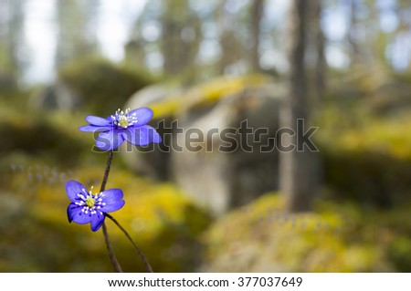 Sunny scandinavian spring landscape with anemone hepatica in foreground - stock photo
