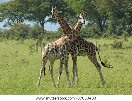 sunny scenery including two Rothschild Giraffes at fight in Uganda (Africa) - stock photo