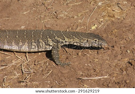 sunny scenery with nile monitor in Botswana, Africa - stock photo