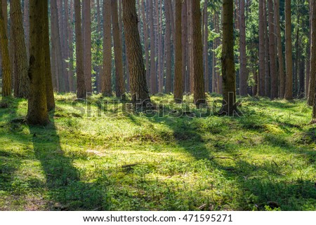 Sunny spruce pine tree forest park fresh green moss wood trunk summer natural light nobody