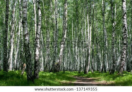 Sunny summer day in a birch wood