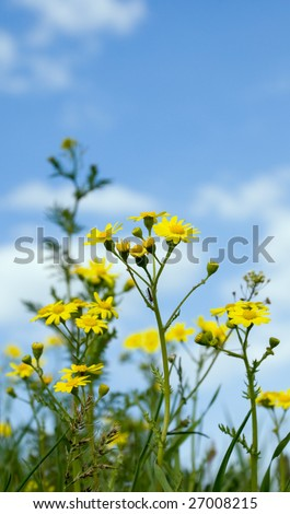 Sunny summer midday in the field with some yellow wildflowers closeup against the blue sky with clouds. Shallow depth of field. Serenity conception. - stock photo