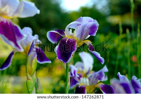 sunny violet iris in garden - stock photo