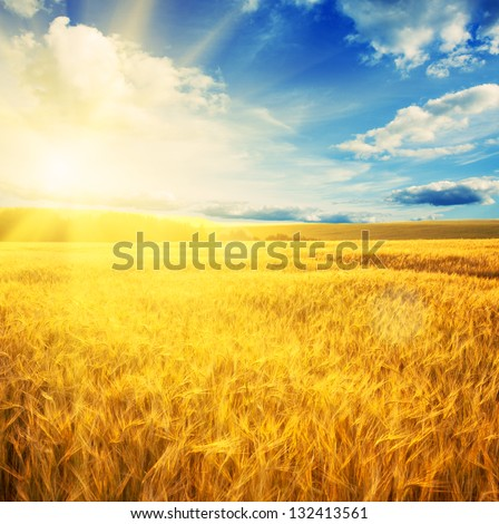 sunny wheat field - stock photo
