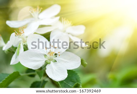 sunny white cherry flowers in spring