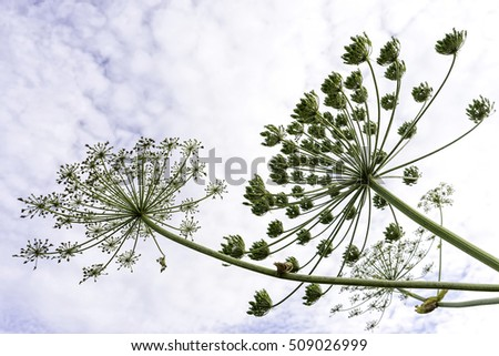 Sunny white cow-parsnip flower cluster macro view against cloudy sky background