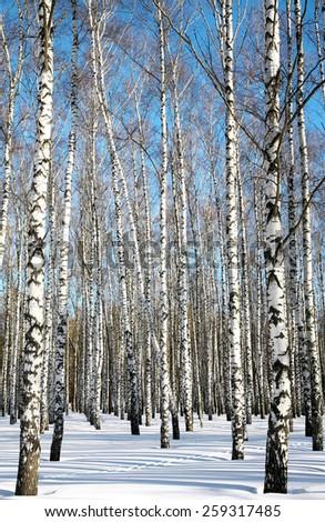 Sunny winter birches on blue sky - stock photo