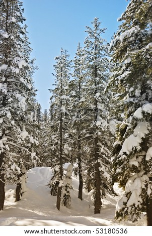 Sunny winter day among the conifers in the Lake Tahoe. - stock photo