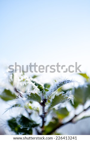 Sunny winter day - green foliage covered in hoar frost. Morning hours. Room for copy space in blue sky.  - stock photo