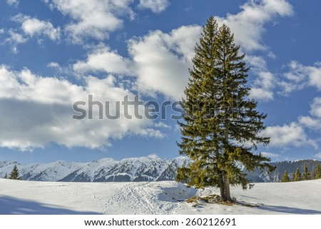 Sunny winter mountain scenery with tall solitary fir trees in a snowy meadow in Piatra Craiului mountains, Romania. - stock photo