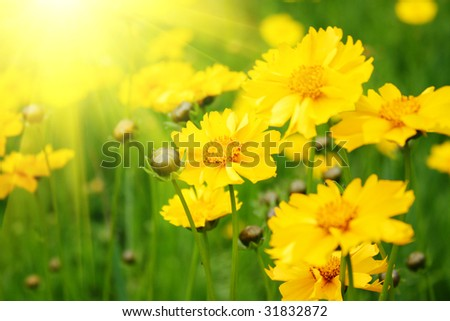 Sunny yellow flowers background - stock photo