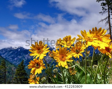 Sunny Yellow Flowers, Snowcapped Mountains, Blue Sky and White Clouds.  4th of July hiking trail near Seattle and Leavenworth, North Cascades National Park, Washington State, USA.  - stock photo