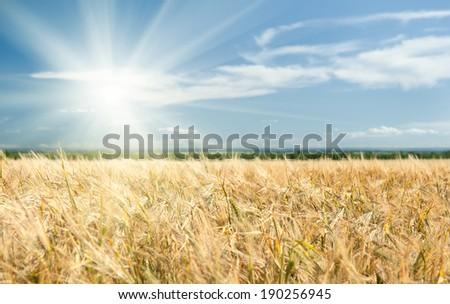 Sunny yellow wheat field and blue sky - stock photo