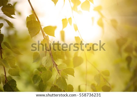 Sunny young green spring leaves of birch tree, natural eco seasonal background with copy space.