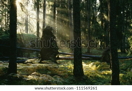 Sunrays creeping through a pine tree forest