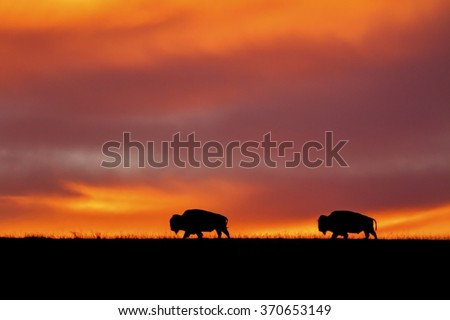 sunrise at Maxwell Wildlife Preserve in Kansas; two American Bison on the horizon - stock photo