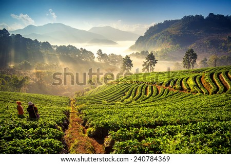 Sunrise at strawberry field at doi angkang , chiang mai , Thailand. - stock photo