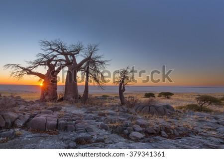 Sunrise at the baobabs at Kubu Island - stock photo