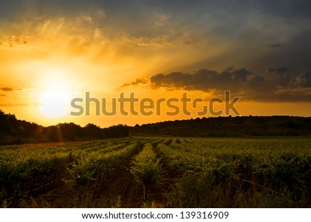 Sunrise in a vineyard in the north of israel with beautiful colored sky - stock photo