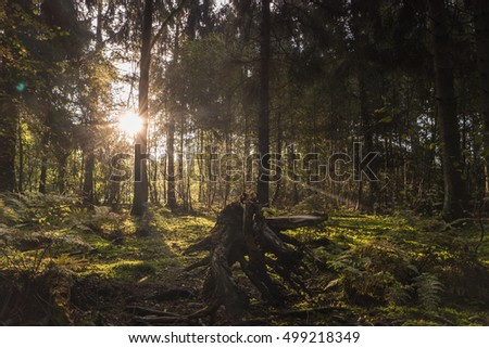 Sunrise in the forest at a autumn morning with the sun shine between the trees with the green moss on the ground shining