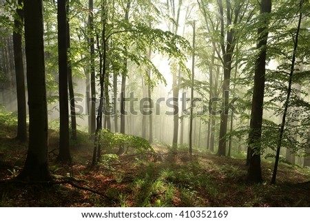 Sunrise in the spring beech forest. - stock photo