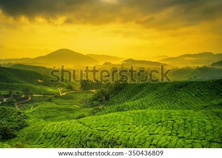 Sunrise of tea plantation in Cameron Highland, Malaysia. - stock photo