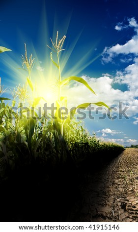 sunrise on a cornfield - stock photo