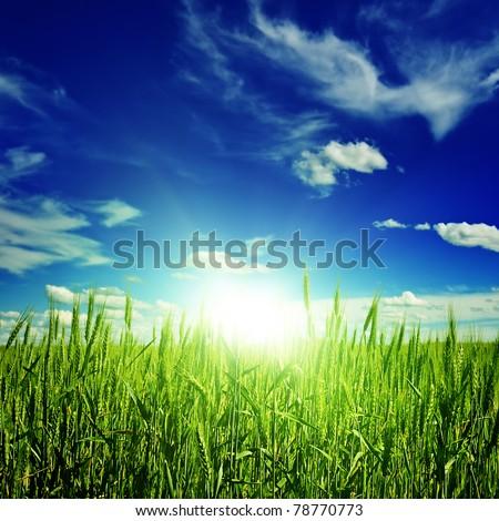 sunrise on a spring wheat field - stock photo