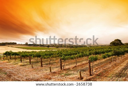 Sunrise over scenic vineyard - stock photo