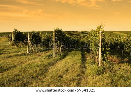Sunrise over the Vineyard in the Moravia - stock photo
