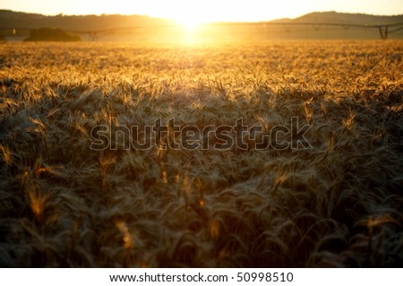 Sunrise over the wheat fields - stock photo