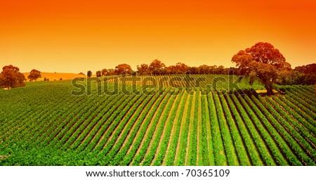 Sunrise over vineyard in the Adelaide Hills - stock photo