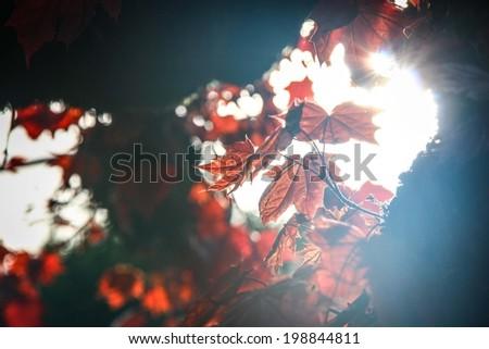 sunrise reflect on red maple leaves - stock photo