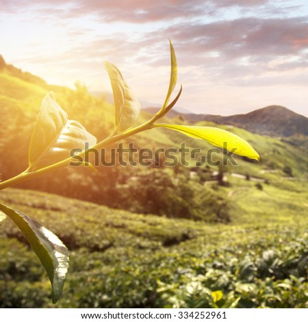 Sunrise view of tea plantation landscape at Cameron Highland, Malaysia.  - stock photo
