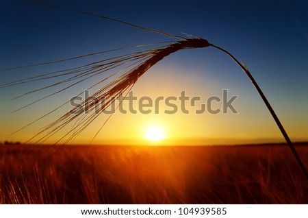 sunset and ears of ripe wheat - stock photo