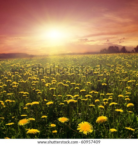 Sunset and field of dandelions. - stock photo