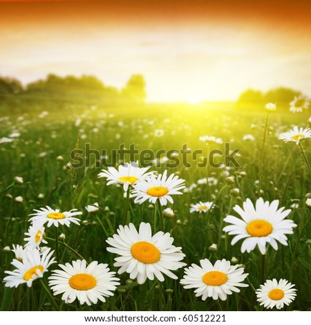 Sunset and flower field. - stock photo