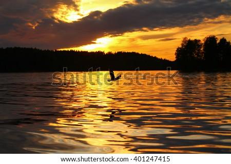 Sunset and Lesser Black-backed Gull. The Lesser Black-backed Gull  flying in a beautiful sunset. - stock photo